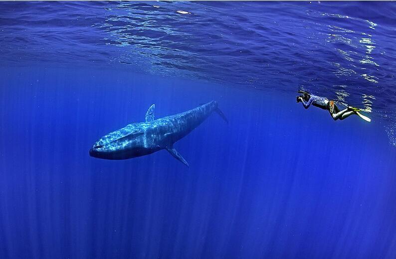 攝影師潛水偶遇藍(lan)鯨(jing) 抓拍同游精彩(cai)合